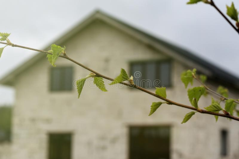 Spring. daylight. birch is just starting to bloom. have earrings. there is a house in the background, it is out of focus stock photography