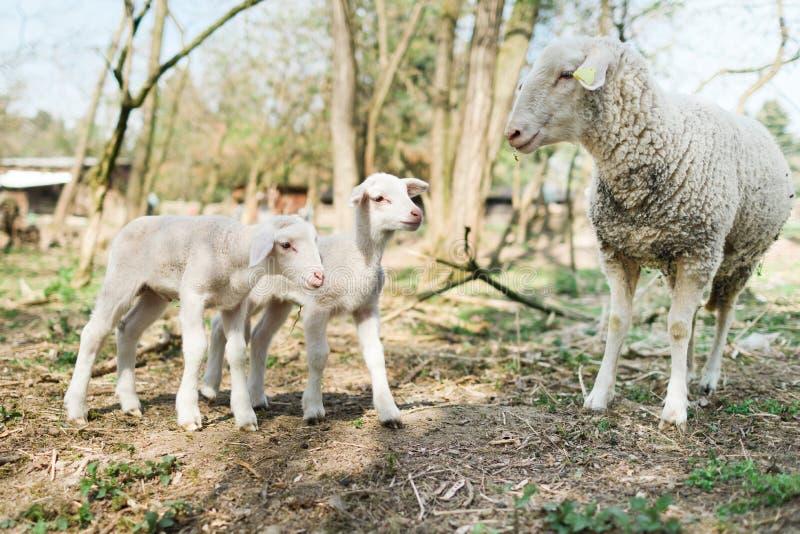 Spring de Pasen-tijd in echte wereld op landbouwbedrijf, schapen en lammeren op stock foto's