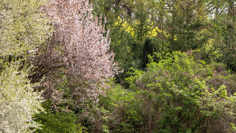 Spring deciduous forest, with green trees, grass, and flowering bushes. Background nature landscape nobody scenic wood light new outdoor sunny trunk wild royalty free stock photography