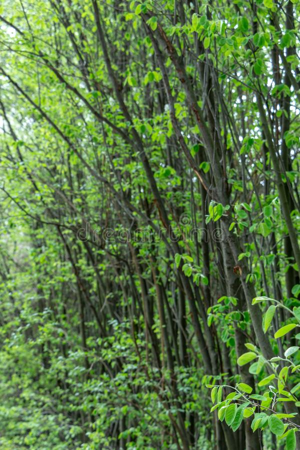 Spring deciduous forest, with green trees, grass, and flowering bushes. Background nature landscape nobody scenic wood light new outdoor sunny trunk wild stock photography