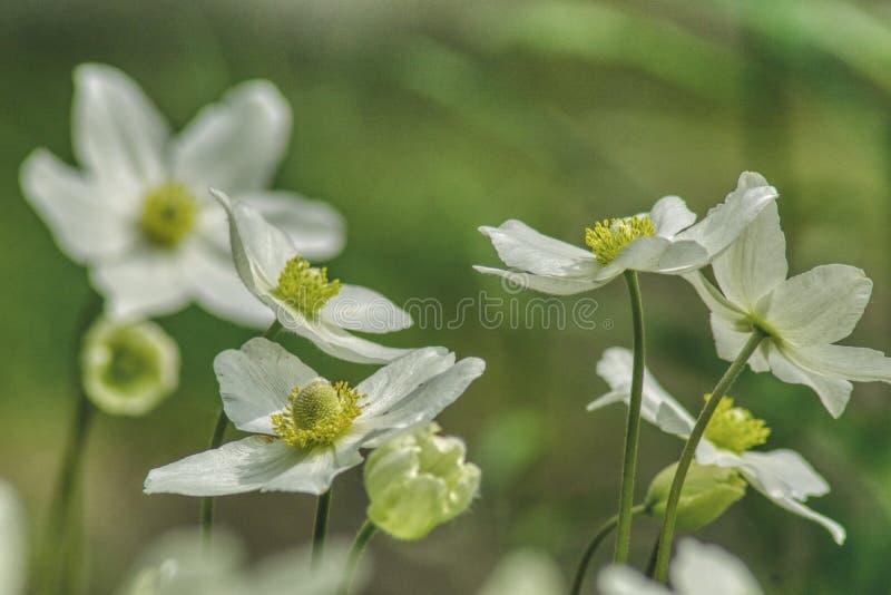 Spring flowers, dancing pairs of anemones stock photo