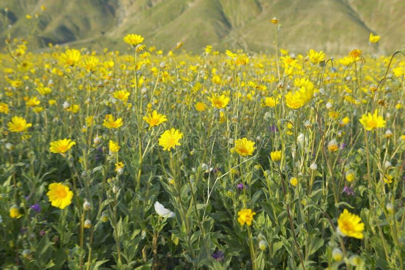 Spring desert gold and yellow flowers near henderson road in anza download spring desert gold and yellow flowers near henderson road in anza borrego desert state mightylinksfo