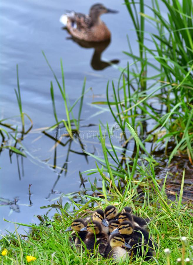 Spring ducklings at the pond stock photos
