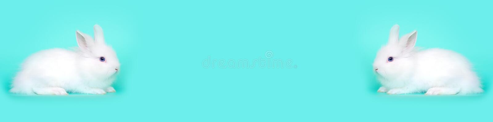 Spring and Easter concept image. Front view of one white bunny rabbit sitting on its paws, over a light blue mint stock images
