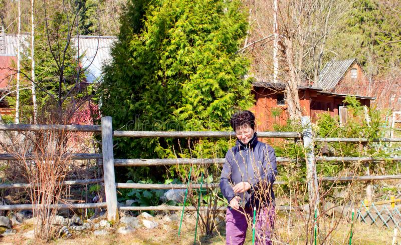 Spring efforts on prunning plants at the dacha. Woman pruning currant bush at the dacha stock photo