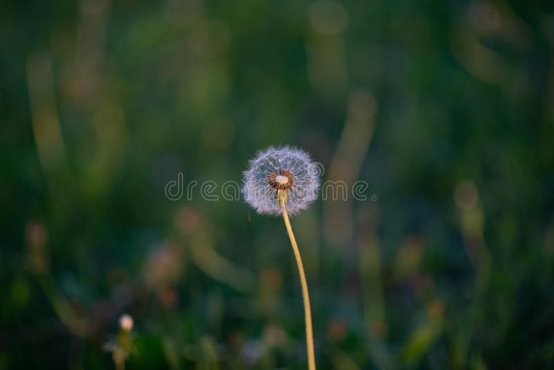 Spring evening in nature. Fluffy dandelion.  Desktop Wallpapers. Postcard with flowers. royalty free stock photos