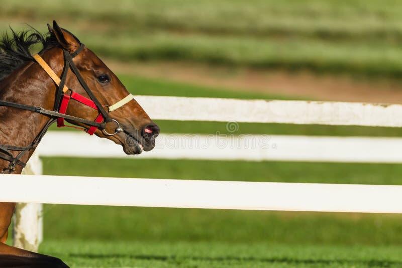Spring för huvud för Closeup för lopphäst royaltyfri bild