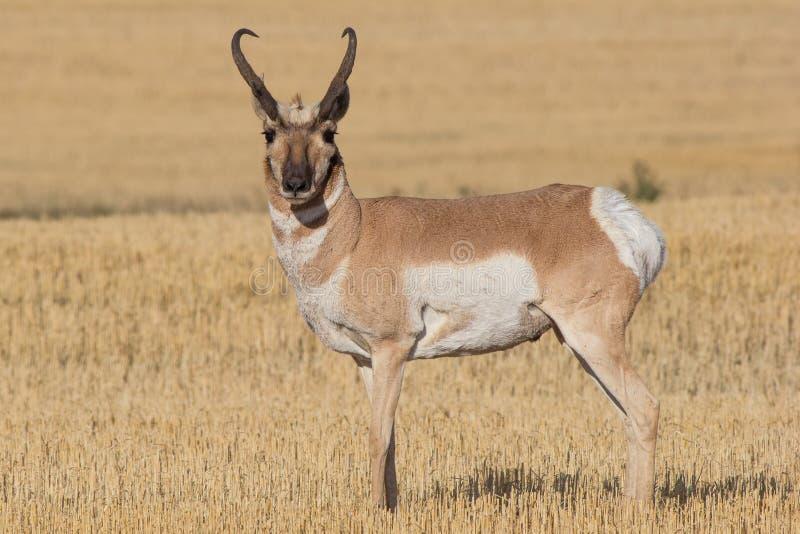 Spring för Pronghorn antilop till och med fält arkivfoto