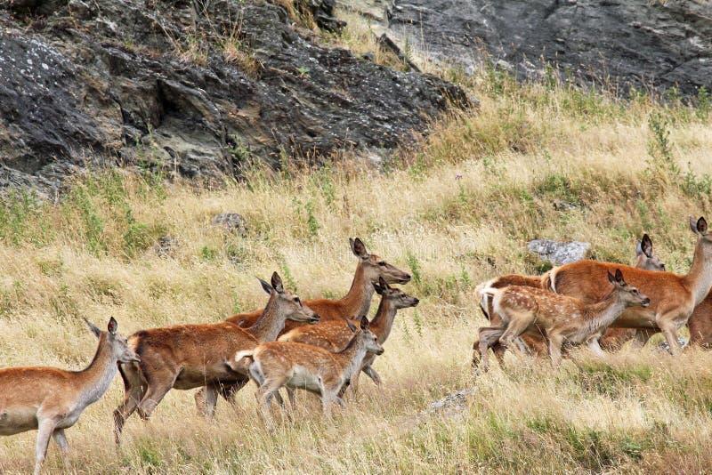Spring för röda hjortar arkivfoto
