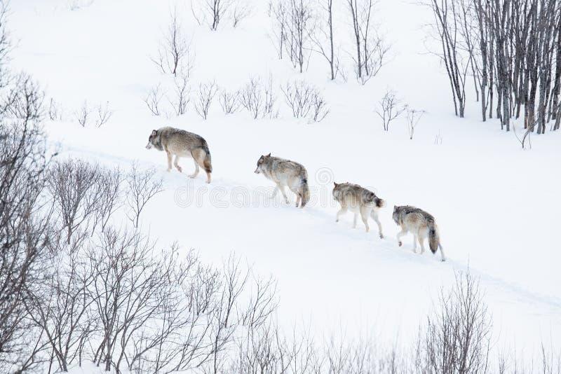 Spring för vargpacke i det kalla landskapet royaltyfri bild