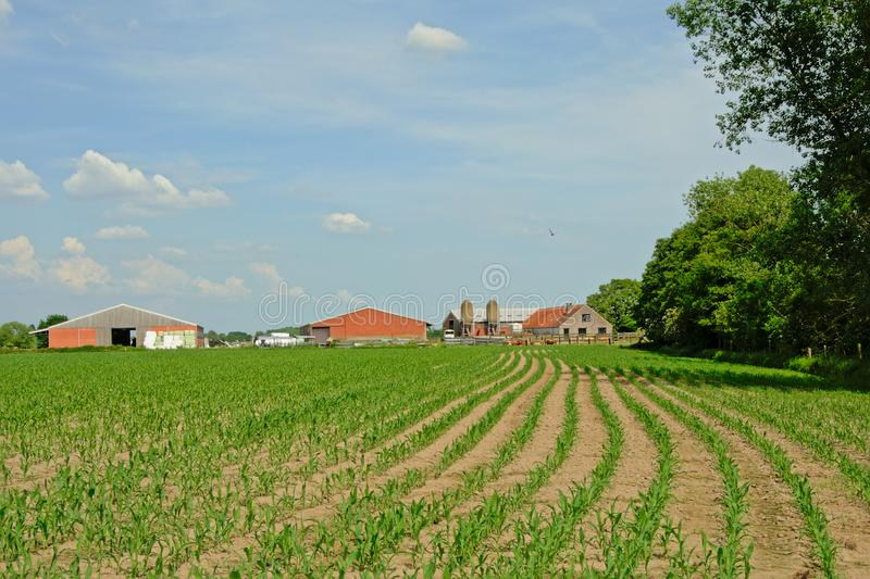 Spring farmland with young corn plants and barns behind stock photography