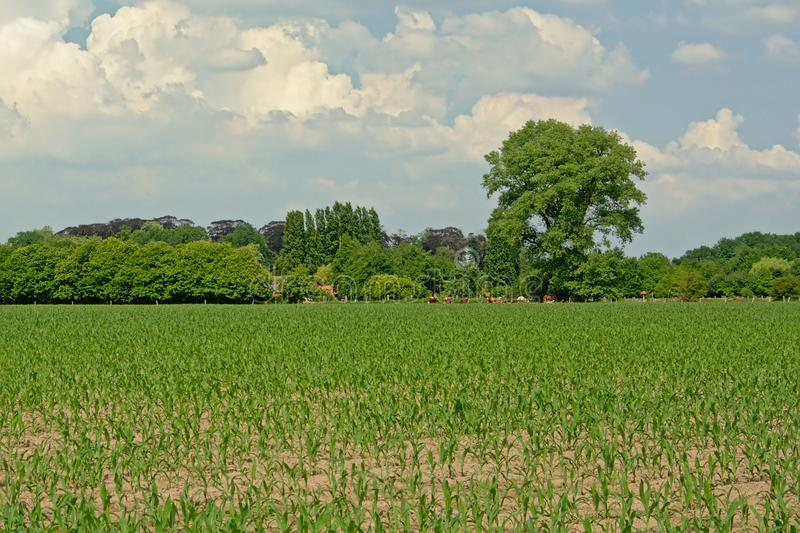 Spring farmland with young corn plants and trees stock photo