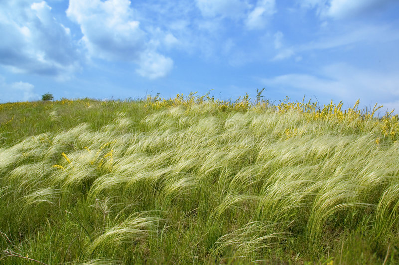 Spring feather-grass and blue sky. Green feather-grass and blue sky stock photo