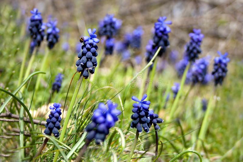 Spring field with blue-violet flowers stock photo