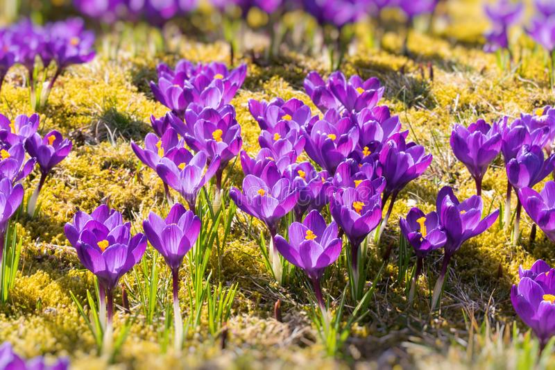 Spring field with crocus flowers. stock images
