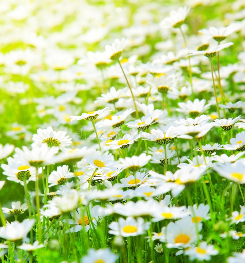 Spring field of daisies stock photography