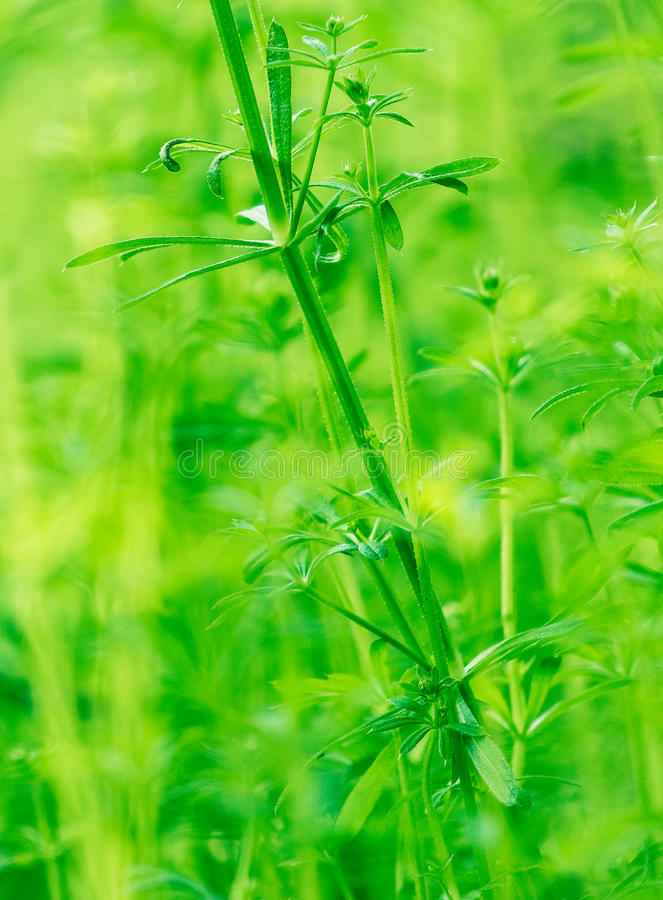Spring field grow grass. Herbaceous plants, is a general term for a class, but a subject is not in the classification of plant cell. People usually herb called royalty free stock images