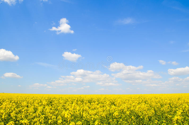 Spring field, landscape of yellow flowers, ripe. Spring field of yellow flowers, ripe. Blue sunny sky. Landscape backgrounds royalty free stock photo