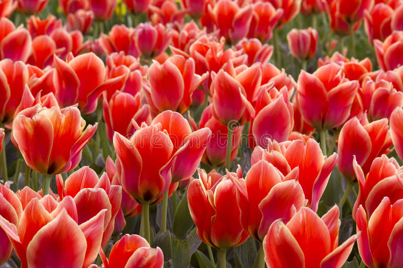 A spring field with red tulips stock images