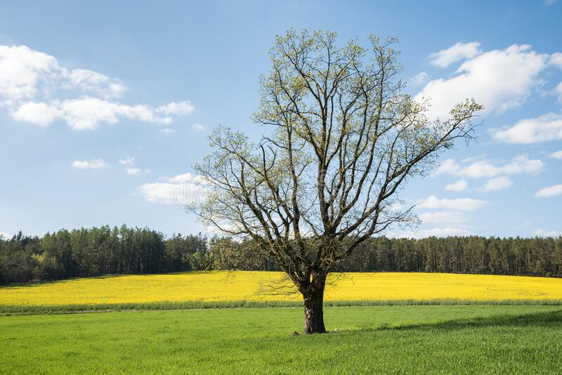 Spring Field with a Tree stock image