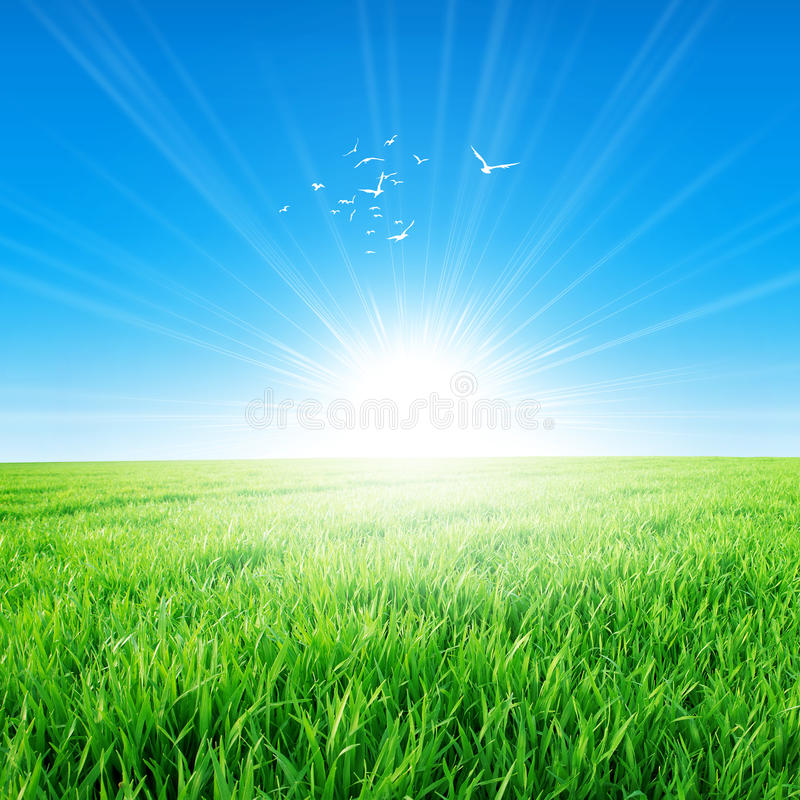 Spring field under the morning sun. Fresh field of green grass growing slowly under the rising sun. White birds fly up high stock photography