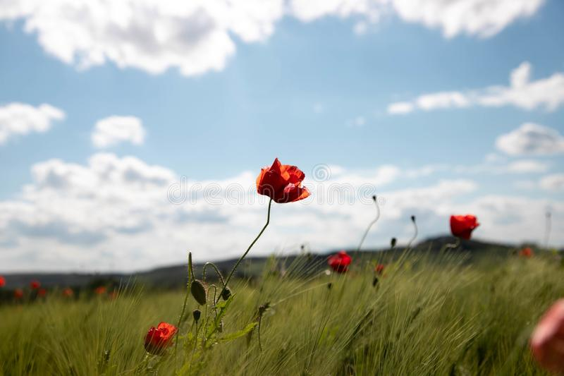 Spring field of wheat ears with poppy flowers against the background of blue sky with white clouds. Spring green field with stock images