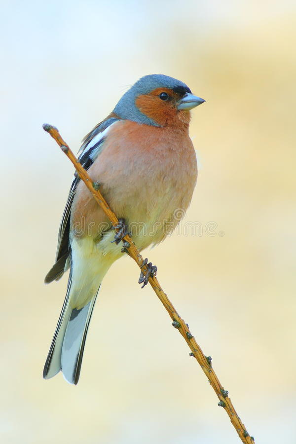 Free Spring Finch On A Branch Stock Photography - 22548152