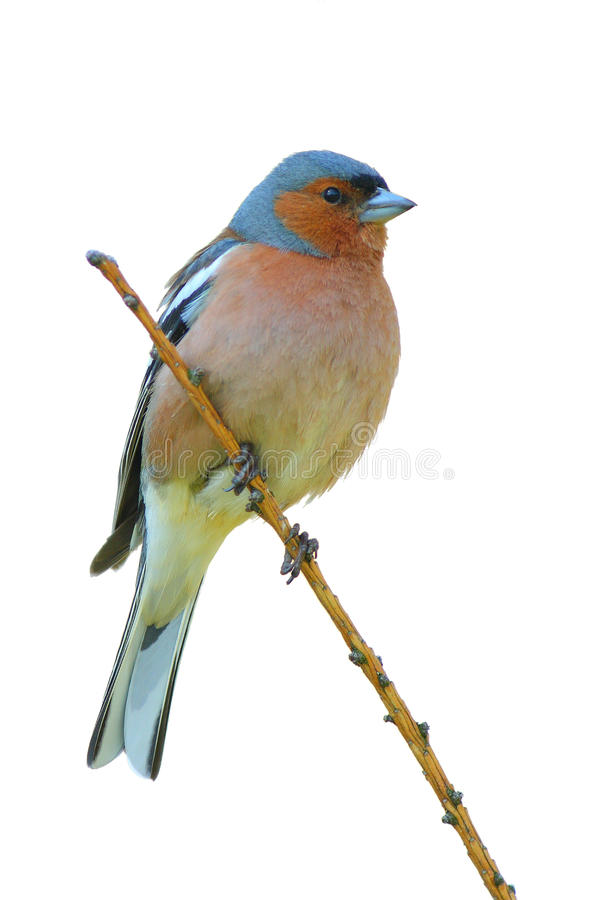 Free Spring Finch On A Branch Stock Photos - 22795643