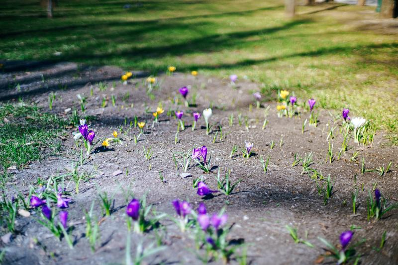 Spring first flowers are growing on a street. Spring nature background.  stock image