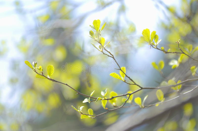 Spring. The first spring leaves alders bathe in the sunlight stock photos