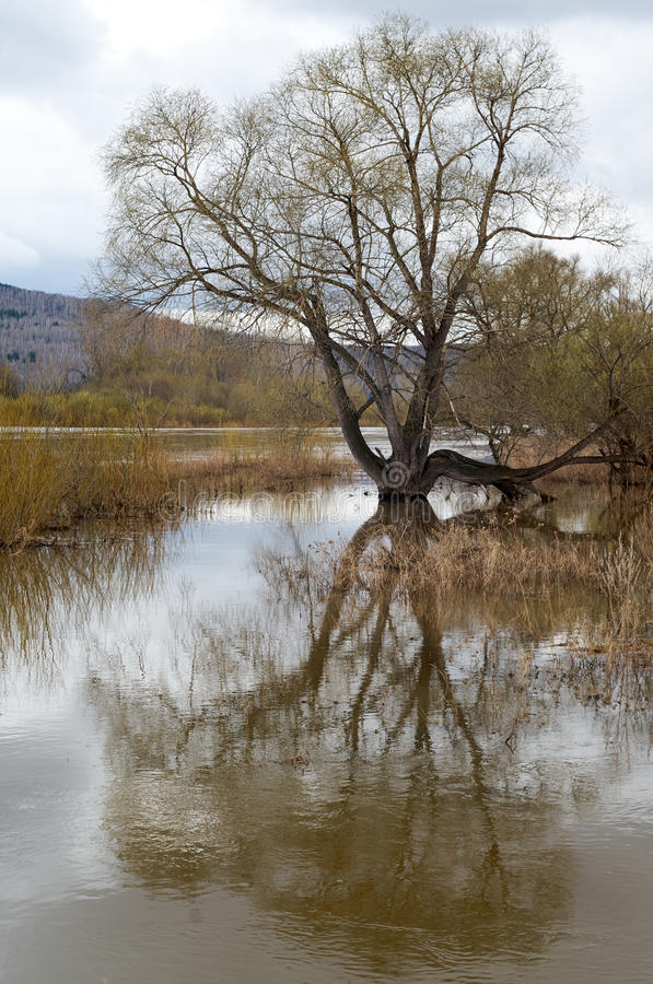 Spring flooding river. Spring flooding of rivers and flooded tree royalty free stock photography
