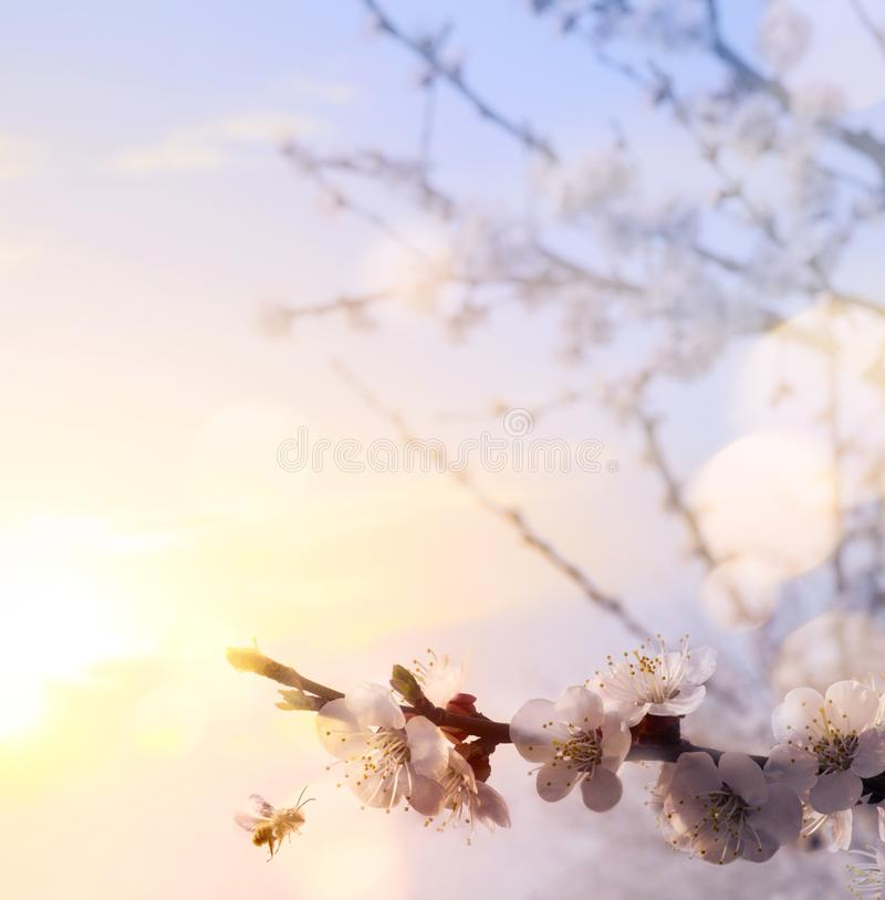 Spring floral background; beautiful Pink Blossoms tree stock photography