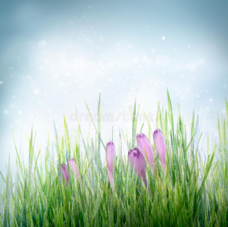 Spring floral background with crocus flowers stock photo