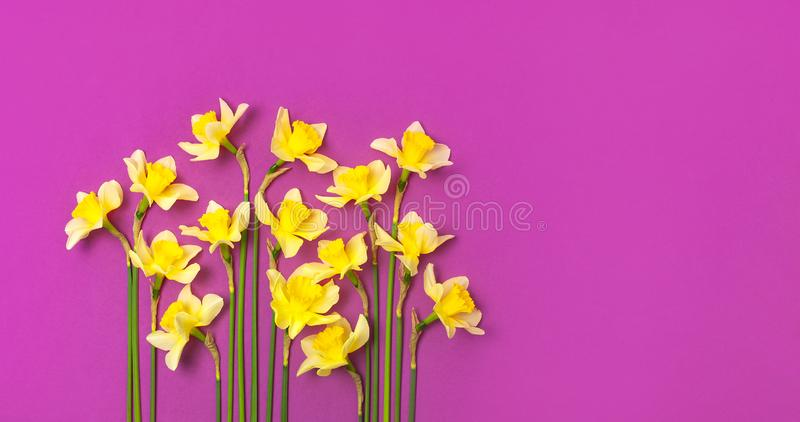 Spring floral background. Yellow narcissus or daffodil flowers on bright pink fuchsia background top view flat lay. Easter concept. International Women`s Day stock photography