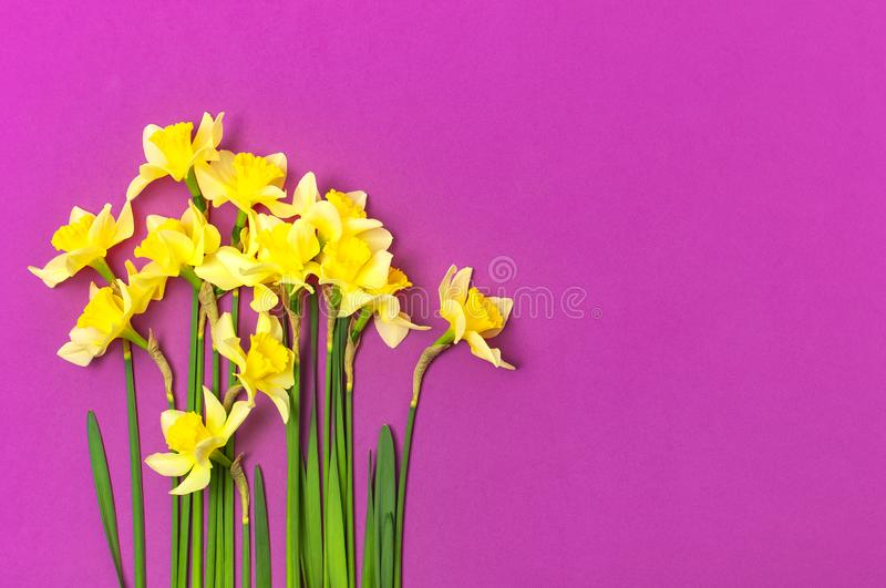 Spring floral background. Yellow narcissus or daffodil flowers on bright pink fuchsia background top view flat lay. Easter concept. International Women`s Day royalty free stock photo