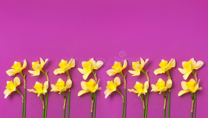 Spring floral background. Yellow narcissus or daffodil flowers on bright pink fuchsia background top view flat lay. Easter concept. International Women`s Day stock photo