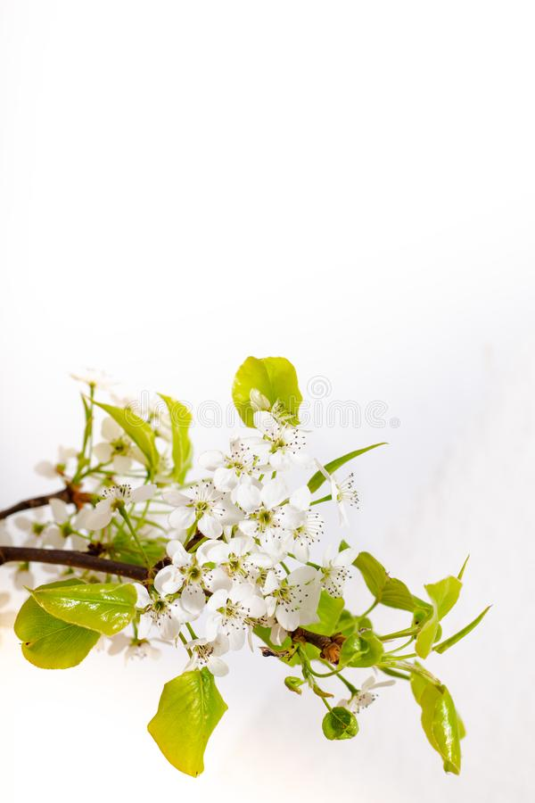 Spring Floral concept Pear white Blossoms on white background. With copy space stock image