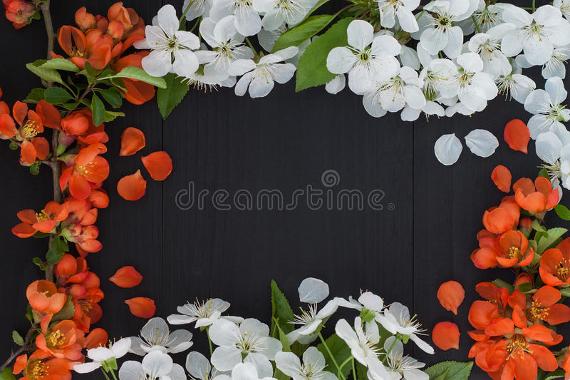 Spring floral frame background with white cherry blossom and red flowers. Spring floral frame background with white cherry blossom and red chaenomeles flowers stock image