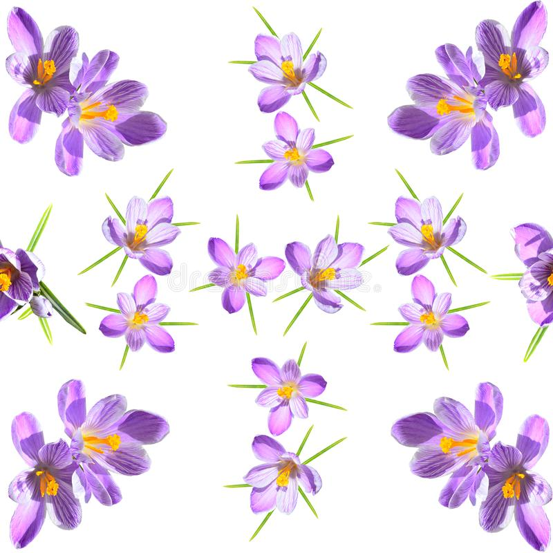 Spring floral seamless pattern with violet striped crokuses on a white background stock illustration