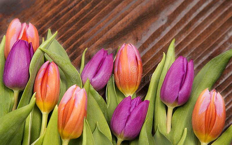 Spring flover, colored tulips royalty free stock image