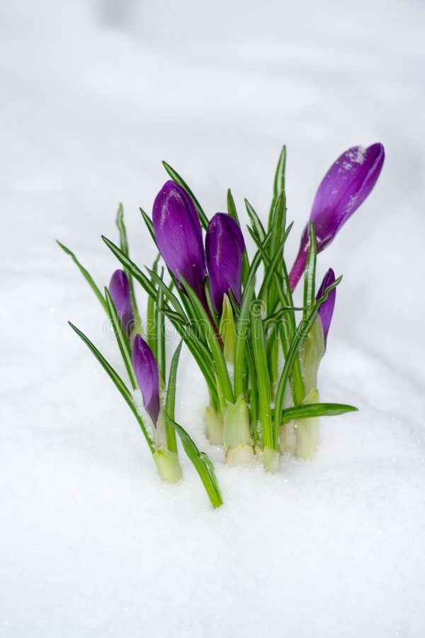 Spring flower. In the snow stock photos