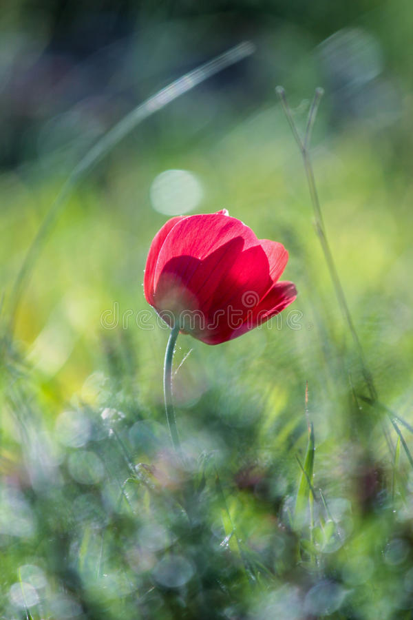 A spring flower anemone. In the spring in Jerusalem forest stock photography