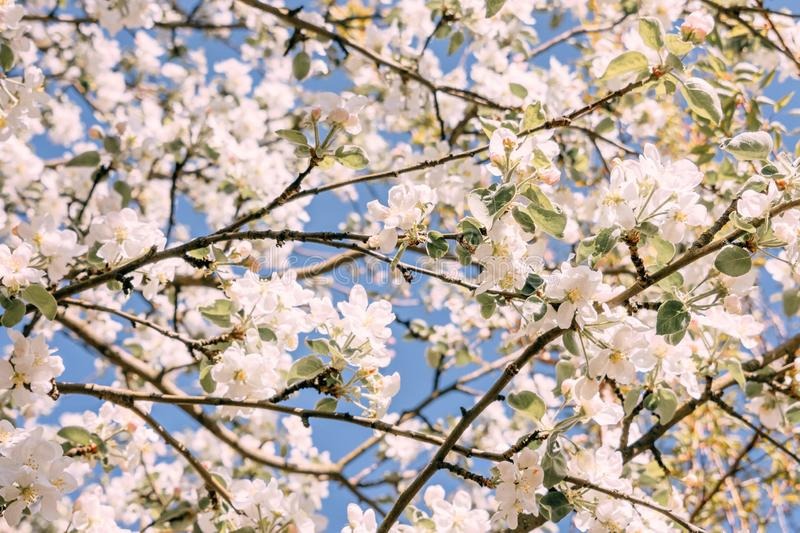 Spring flower background. Apple tree Blossom trees, white flowers and green leaves on blue sky background royalty free stock photos