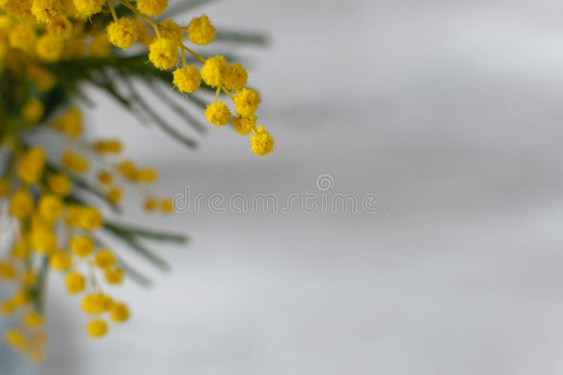 Spring flower background, mimosa flower on gray background, symbol of 8 March, happy women`s day stock image