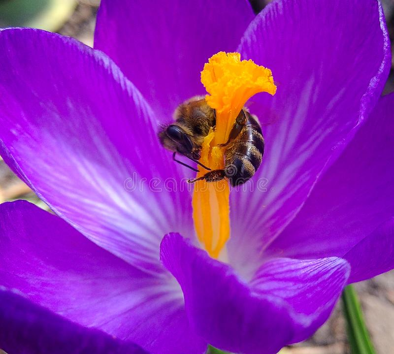 Spring, flower and bee. Bee on the flower Crocus spring. Bee on a flower close up. Selective focus. Bee on the flower Crocus spring. Bee on a flower close up stock images