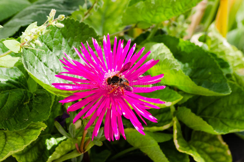 Spring flower and bee foraging royalty free stock photos