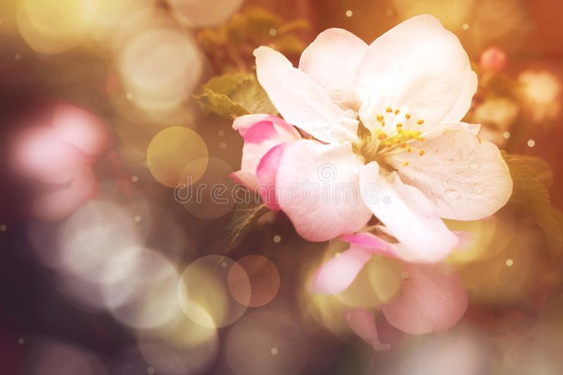 Spring Flower Blossom with Blurred Bokeh Lights royalty free stock photography