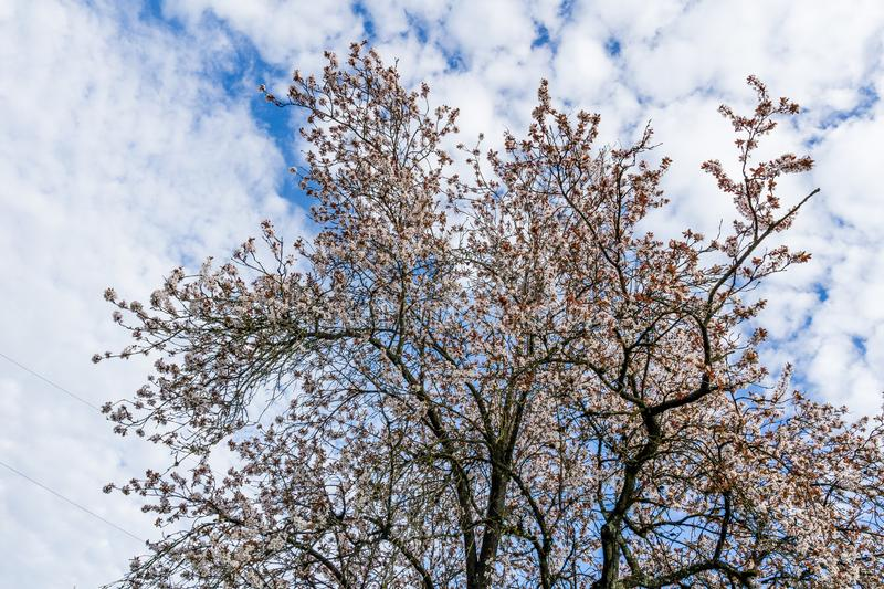 Spring flower blossom of cherry tree and white clouds on sky royalty free stock images