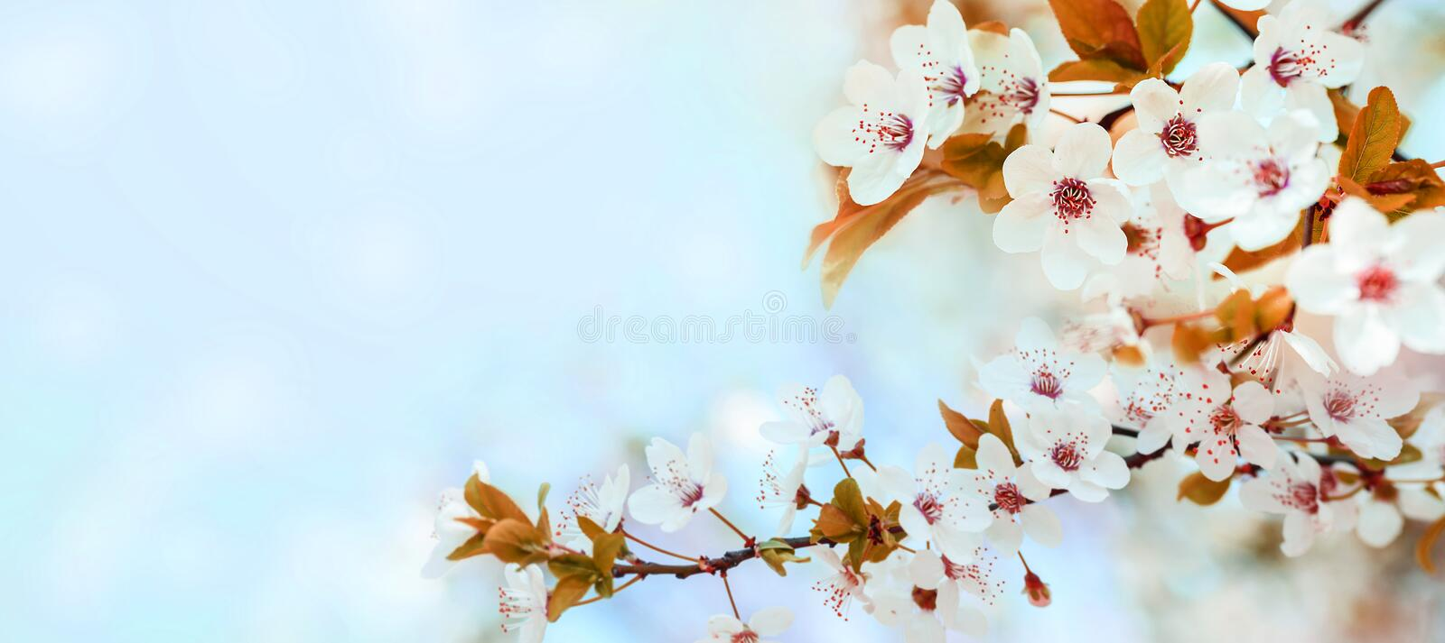 Spring flower blossom closeup with bokeh background. Springtime nature scene with cherry blossom tree in japanese garden and royalty free stock photos