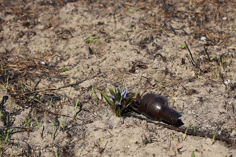 Spring flower blue coloring sprouted on burnt ground after pazhara near the discarded bottle. The consequences of fire for nature. New life is reborn in the royalty free stock photos